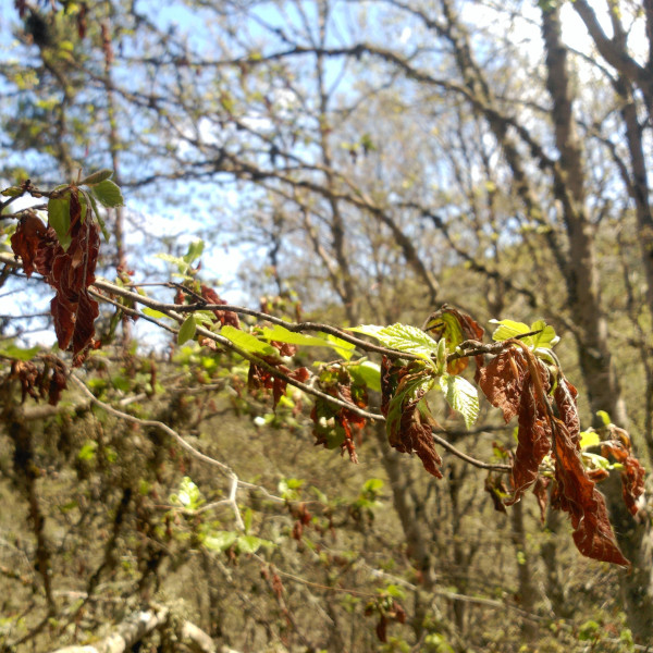 Foto proyecto Understanding forest responses to spring frosts